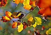 Fagus sylvatica (red beech), autumn color