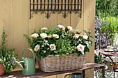 Basket with pink (rose), Thymus citriodorus (lemon thyme)