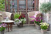 Summer terrace with wicker armchairs, Olea europaea, Osteospermum