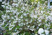 Deutzia gracilis (mayflower bouquet), flowering in May-June
