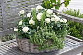 Basket of white Rosa, Thymus citriodorus