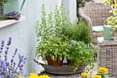 Pots with Salvia officinalis 'Icterina', Coriandrum