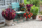 Shadow Terrace at the Garden House, Solenostemon 'Kingwood Torch'