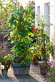 Phaseolus (fire bean) at homemade trellis