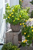 Damiana ulmifolia syn. Turnera ulmifolia is an old medicinal plant