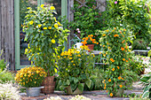 Yellow terrace at the garden house, Helianthus decapetalus