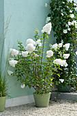 Hydrangea paniculata 'vanilla fraise' on gravel terrace