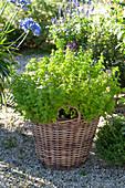 Origanum vulgare (oregano) in the basket