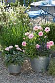 Rosa (Rose), Salvia officinalis 'Berggarten' (sage), Aloysia