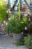 Rosa 'Mary Rose' (English Rose)
