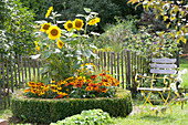 Sunflowers and coneflower in a circular bed with a box-hedge