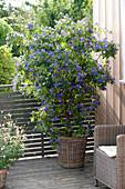 Solanum rantonnetii (gentian shrub) in the basket