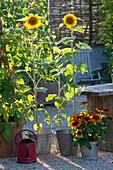 Helianthus annuus (sunflower) and Rudbeckia hirta