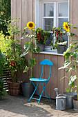 Helianthus annuus (sunflower), Lycopersicon (tomato)