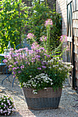 Basket planted with Cleome spinosa (pink queen) and diascia