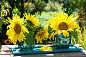 Flowers of Helianthus annuus (sunflower) in glass vases