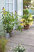 Cassia didymobotrya (spice bark, candle shrub) and Brugmansia