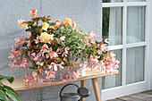 Begonia Summerwing's 'Apricot', Fragrant Falls 'Peach'