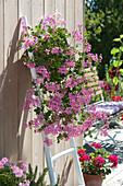 Basket with Pelargonium peltatum 'Ville De Paris' (Hanging Geranium)