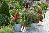 Capsicum annuum 'Paradiso' (Mini Sweet Pepper), Zinnia (Zinnia)