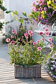 Echinacea purpurea 'Minibelle' (Red Coneflower) in the basket