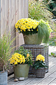 Chrysanthemum indicum (autumn chrysanthemum)