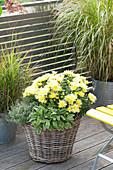 Chrysanthemum indicum, Salvis officinalis 'Icterina'