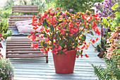 Begonia 'Dragon Wing Red' (Dragonwing Begonia)