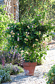 Lantana camara (Lantana) in clay pot