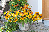 Rudbeckia hirta (coneflower) in the basket at the house entrance