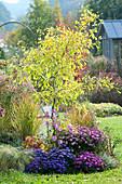 Ginkgo biloba 'Saratoga' (fan tree), male selection