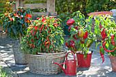 Various capsicum annuum (peppers, hot peppers, chili)