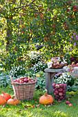 Apple harvest in the garden