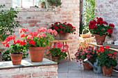 Pelargonium zonal 'Sarita Fire', Classic Line 'Noblesse', Calliope