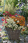Nemesia Sunsatia Plus 'Little Vanilla' 'Little Orange' 'Strawberry'
