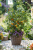 Fortunella japonica (Kumquat) and Brachyscome 'Brasco Violet'