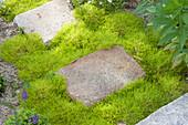 Sagina subulata 'Scotish moss'