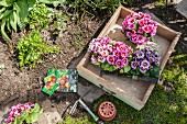 Pink primulas in vintage wooden drawer ready to be planted in flowerbed