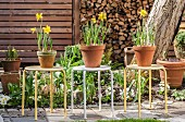 Potted narcissus on three metal stools