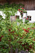 Ripe redcurrants in cottage garden