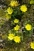 Flowering winter aconites (Eranthis hyemalis)