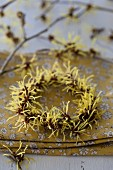 Wreath of witch hazel flowers (Hamamelis)
