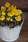 Potted flowering winter aconite (Eranthis hyemalis)