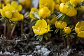 Flowering winter aconites (close-up)