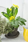 Spring arrangement of flowering cowslips in planter