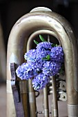 Blue hyacinths stuck in old tuba