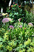Ladies' mantel and alliums growing in natural-style flowerbed