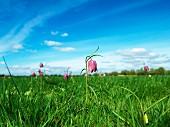 Schachbrettblumen auf einer grünen Wiese vor blauem Himmel