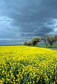 Flowering field of oil-seed rape and blossoming fruit trees along country road