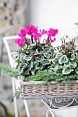 Pink and white Cyclamen and juniper sprigs on wicker tray
